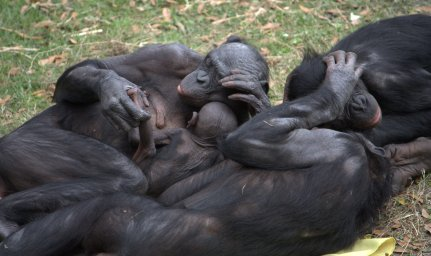 Bonobos are an extraordinarily peaceful species.